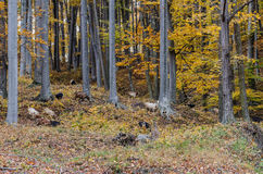 Goat herd in the forest Royalty Free Stock Image