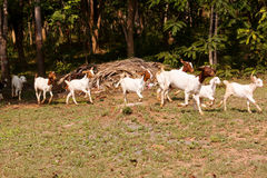 Goat herd Royalty Free Stock Photo