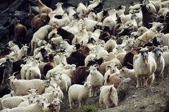 Goat herd. Mixed Herd of goat and sheep Royalty Free Stock Photos