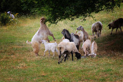 Goat herd the pass grass. On field Stock Photography