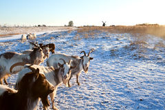 Goat herd on snow pasture Stock Photography