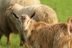 Goat in the herd Royalty Free Stock Photography