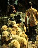 Goat herder with his flock. A goat herder in Himalayas foothills in Uttarakhand state in India Stock Photography