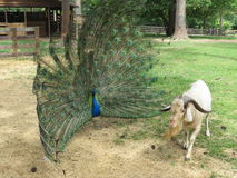 Peacock Goat Herder Stock Photos