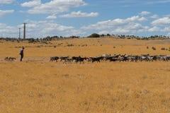 Goat herding Algarve Royalty Free Stock Photos