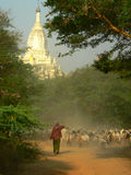 Goat Herding, Bagan Archaeological Zone, Heritage Site. Myanmar (Burma) Royalty Free Stock Photos