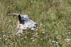 Goat hide in the  grass Stock Photos