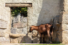 The goat hides from the scorching sun Royalty Free Stock Image