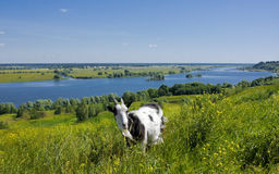 Goat on a hill Stock Images
