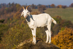 Goat on the hill. The goat from the farm looking at you Stock Images