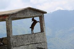 Goat on a Hill finding food stock photo