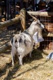 Goat in his corral with abundant food. Goat`s face, farm, hairy farm animal with big horns, animal enclosed in a fence, animal adduct apparently a female, hair royalty free stock photos