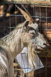 Goat in his corral. Goat face, farm, hairy animal farm with big horns, animal enclosed in a fence, animal adduct apparently a female, hair like beard stock photos