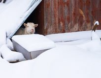 Goat in his house, in the winter in the village Stock Images