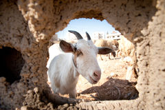 Goat Through Hole in Wall Royalty Free Stock Image