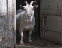 Goat at home Stock Images