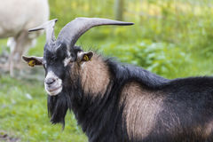 Goat with horn and goat beard staring into the camera Royalty Free Stock Photography