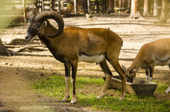 Goat. The horned brown goat wild animal nature reserve Stock Image