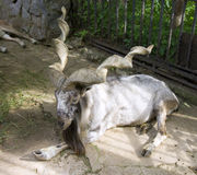 Goat horned. Cloven-hoofed mammal bovids mountain goat Stock Photos