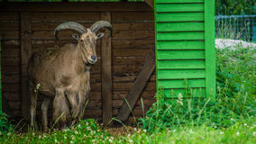 Goat. Horned goat in the stall royalty free stock photo
