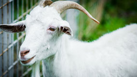 Goat. Horned white goat in the paddock royalty free stock photography