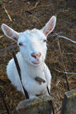 Goat. Hornless goat looking into the lens Stock Image