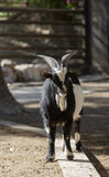 Goat with horns Stock Photos