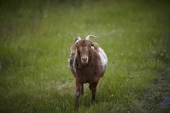 Goat with horns in the meadow Stock Images