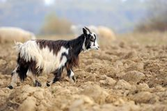 Goat. Horny goat standing in a meadow with flock together Royalty Free Stock Photography
