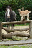 Goat and horse chatting. A goat balanced on a fence railing chatting to a horse Stock Photos