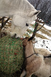 Goat and horse eating hay during winter time. Royalty Free Stock Photography