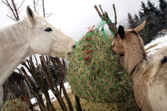 Goat and horse eating hay during winter time. Stock Image