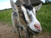 Goat III Royalty Free Stock Image