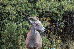 Goat In Canada Royalty Free Stock Photos