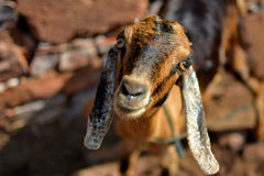 Goat. This is an Indian Goat in the village living near by farm and residential areas with People.people feed them grass every day royalty free stock images