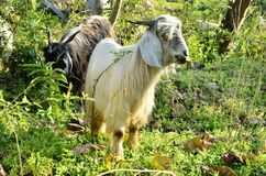 Goat InJungle  Of Agricultural Fields In Rural Indian Villages