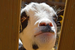 A Goat Looking Through A Door Royalty Free Stock Images