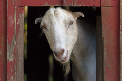 Goat Inside the Red Barn Royalty Free Stock Image
