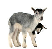Goat isolated Royalty Free Stock Photos
