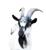 A goat, isolated. One goat, isolated on white background stock photos
