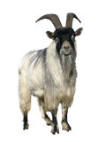 Goat. Isolated over white. Background stock photo