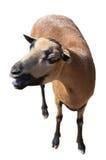 Goat isolated on white Stock Photo
