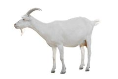 Goat. Isolated on a white background stock images