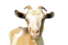 Goat isolated on a white background. Portrait of goat isolated on a white background focus on face Royalty Free Stock Images