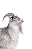Goat Isolated On White