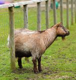 Goat with an Itch Royalty Free Stock Images