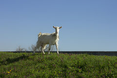 Goat from the Ivanovo, Serbia Royalty Free Stock Images