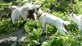 Goat, Jungles Stock Photography