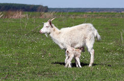 Goat with just born little goat. Spring scene Royalty Free Stock Image