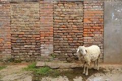 Goat in  Kathmandu valley. Nepal Royalty Free Stock Photo